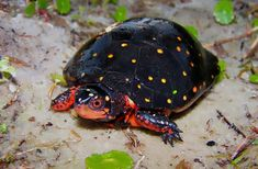 The spotted turtle (Clemmys guttata), the only extant species of Clemmys, is a small, semi-aquatic turtle that reaches a carapace length of cm in) upon adulthood. Kinds Of Turtles, Land Turtles, Cute Turtles, Sea Turtles, Beautiful Creatures, Animals Beautiful, Cute Animals, Turtle Time, Crocodiles