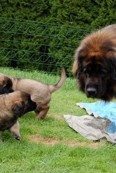 Leonberger momma and pups