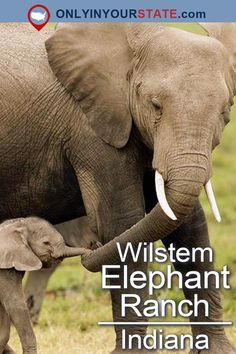 Pet And Feed Elephants At Wilstem Ranch, An Elephant Ranch In Indiana Usa Places To Visit, Places To Travel, Travel Destinations, Travel Things, Google Play, Elephant Park, Indiana Dunes, Adventure Bucket List, Us Road Trip