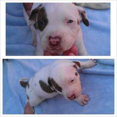 Blue eye purebreed american pitbull puppies shelby