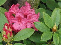 Worden de bladeren van je Rhododendron geel?