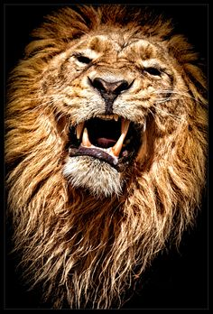 The King by René Unger lion Lion Images, Lion Pictures, Big Cats, Cool Cats, Beautiful Cats, Animals Beautiful, Beautiful Pictures, Regard Animal, Lion Love