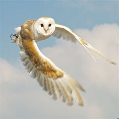 Owl in Flight - Awesome Photo !! — with Firmansyah Anca Usman.