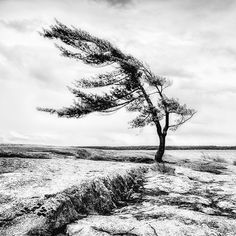 Landscape Photos, Landscape Art, Pine Tree Tattoo, Watercolor Architecture, Lone Tree, Tree Carving, Windy Day, Patterns In Nature, Ciel