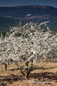 El Valle de las Caderechas, en el costado noroccidental de La Bureba, goza de un microclima especial. Tanto que cada año, al comienzo de la primavera, se da en él el milagro burgalés de los cerezos en flor, el momento en el que todas las laderas del valle se visten con el blanco intenso de una flor que aguantará sobre los árboles tan solo unos pocos días.