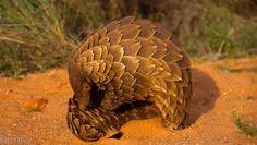 """Dark Roasted Blend: Magnificent Pangolin: Scaled, """"Precise"""" Animal"""
