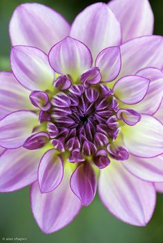 Dahlia being mesmerizing 2 by Alan Shapiro on Unique Flowers, Amazing Flowers, Purple Flowers, Beautiful Flowers, Dahlia Flower, My Flower, Flower Pictures, Planting Flowers, Flowers Garden