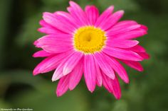 Pyrethrum, Painted Daisy