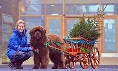 Rosie Irving with Dylan her Newfoundland Dog who is one of the members of the Aqua Nova Water Bears training club and will be on hand to carry Christmas trees at Dalby forest this year in exchange for a charity donation.