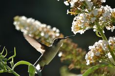Ruby Throated Hummingbird at the Butterfly Bush
