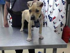 05/05/16--HOUSTON- - - rescue only - super urgent - needs a humongous miracle to get out alive!! --EXTREMELY HIGH KILL FACILITY - This DOG - ID#A458293 I am a male, tan and white Pit Bull Terrier mix. The shelter staff think I am about 13 weeks old. I have been at the shelter since May 05, 2016. This information was refreshed 33 minutes ago and may not represent all of the animals at the Harris County Public Health and Environmental Services.