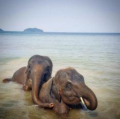 "Asian elephants. ""Elephas maximus""."