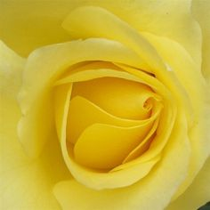 of all the roses, yellow is best