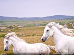 Wild White Horses - The 35 Most Spectacular Wildlife Photos, The National Geographic Traveler Photo Contest Wild Life, Beautiful Creatures, Animals Beautiful, Zoo Animals, Cute Animals, Connemara Pony, Connemara Ireland, National Geographic Photo Contest, White Horses