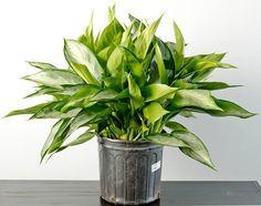 Ninguna planta puede vivir sin unos mínimos cuidados, agua y luz fundamentalmente, pero sí es cierto que algunas plantas necesitan muchos menos cuidados que otras. Cubiertas esas necesidades mínima…