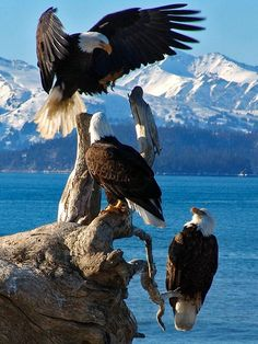 The bald eagle is a bird of prey found in North America. A sea eagle, it has two known sub-species and forms a species pair with the white-tailed eagle. Its range includes most of Canada and Alaska, all of the contiguous United States, and northern M Pretty Birds, Love Birds, Beautiful Birds, Animals Beautiful, Cute Animals, Majestic Animals, Beautiful Pictures, Beautiful Family, Amazing Photos