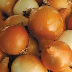 Onion, Yellow of Parma | Seed Savers Exchange
