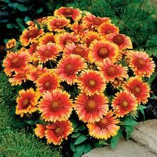 Blanket Flowers, a beautiful low maintenance perennial that grows like a weed :)