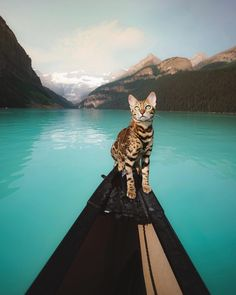 Bengal Cats - Cat's Nine Lives Animals Of The World, Animals And Pets, Cute Animals, Cute Cats, Funny Cats, Cat Water Fountain, Adventure Cat, Photo Chat, Kitty Cats