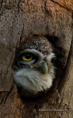 Spotted Owlet by Manojkumar Divakaran