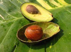 Avocado Kern –nicht weg schmeissen....