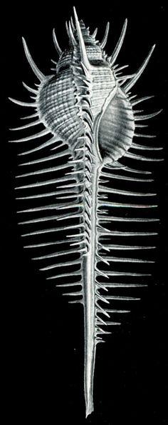Haeckel_Murex_pectens.jpg (600×1514)