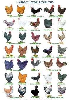 size laminated Poster of different breeds of poultry, Two different posters to choose from. Or buy both with reduced price and postage. size x 12 inches. x cm- Laure Picard Épouse Lambert - Brahma Chickens Types Of Chickens, Keeping Chickens, Chickens And Roosters, Pet Chickens, Raising Chickens, How To Raise Chickens, Nesting Boxes For Chickens, Different Breeds Of Chickens, Raising Farm Animals