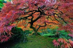 Japanese maple in Portland, Oregon. Japan is known for its gorgeous trees with extremely colorful foilage. Portland, Oregon, is home to one of these Japanese trees. The Japanese tree sticks out among the typical North American flora. World's Most Beautiful, Beautiful World, Beautiful Places, Beautiful Pictures, Beautiful Gardens, Amazing Places, Trees Beautiful, Beautiful Roads, Gorgeous Gorgeous