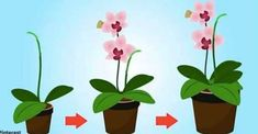 How to Care for Mini Orchids: 22 Steps (with Pictures) - wikiHow - Orchideen Types Of Orchids, Blue Orchids, Orchid Drawing, Orchid Roots, Orchid Plants, Indoor Orchids, Orchids Garden, Rock Plants, Orchid Tattoo