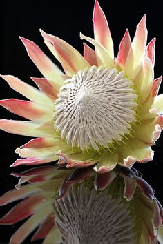 Protea with reflection