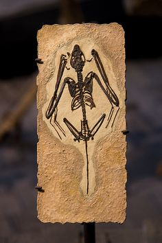 Icaronycteris index--fossil bat   Bats pop out of nowhere, already flying. Four of the five oldest known bats evidently were capable of echolocation. All of them were fully capable of flying. No living or fossil gliding intermediates are known.