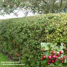 QUICKTHORN (Crataegus monogyna) (Hawthorn May Whitethorn). A thorny shrub that - Modern Hedges, Gothic Garden, May, Photos, Pictures, Shrubs, Fruit, Flowers, Plants