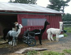 Ben hanging out with other Alpaca in his wheelchair from Eddie's Wheels