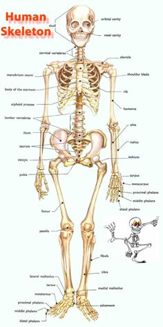 The human skeleton vocabulary in English