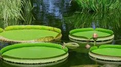 giant water lilies - Google Search