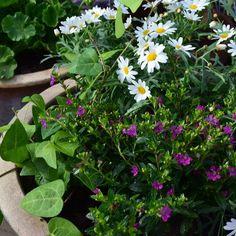 Kukkia, muratti, margareta, sinitulitorvi