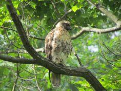 Red-shouldered Hawk, Fancher Davidge Park, Middletown