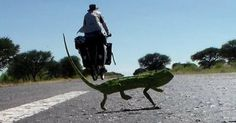 No Hurry in Africa : Cyclist vs.Chameleon