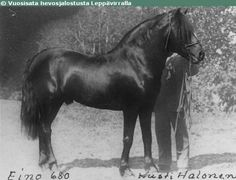 Finnhorse stallion Eino, born in 1888