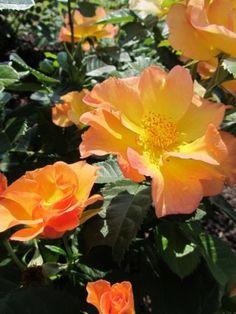 'Morden Sunrise' - I-III(IV). Kork. 0,7-1 m. Kukat ovat oranssinkeltaiset, puolikerrannaiset, tuoksuvat.
