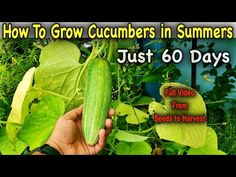 Easiest Method To Grow Cucumber Plants From Fresh Cucumber Seeds || Growing Cucumbers in a Container - YouTube Grow Cucumber, Cucumber Plant, Cucumber Seeds, Organic Fruits And Vegetables, Planting Vegetables, Growing Vegetables, Organic Liquid Fertilizer, Rose Plant Care, All Plants