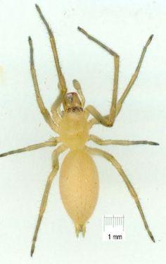 Cheiracanthium sp.