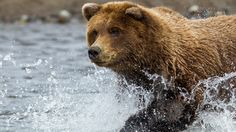 grizzly bear running picture