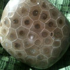Petoskey stone from Michigan
