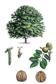 Noyer Vintage Botanical Prints, Botanical Drawings, Botanical Art, Plant Science, Science And Nature, Illustration Botanique, Tree Sketches, Nature Illustration, Tree Silhouette