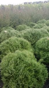 Thuja Occidentalis Tiny Tim, evergreen dwarf conifer to buy online London UK
