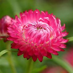 Natural Pink Bloomy Flower Macro iPad Air wallpaper