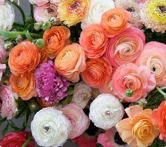 En af verdens mest romantiske blomster - Ranunkler