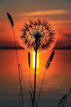 """sunset and dandelions """