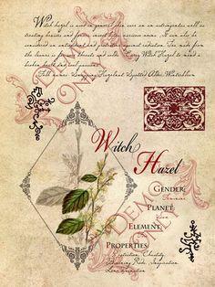 Cackling Cauldron ~ Witch hazel page